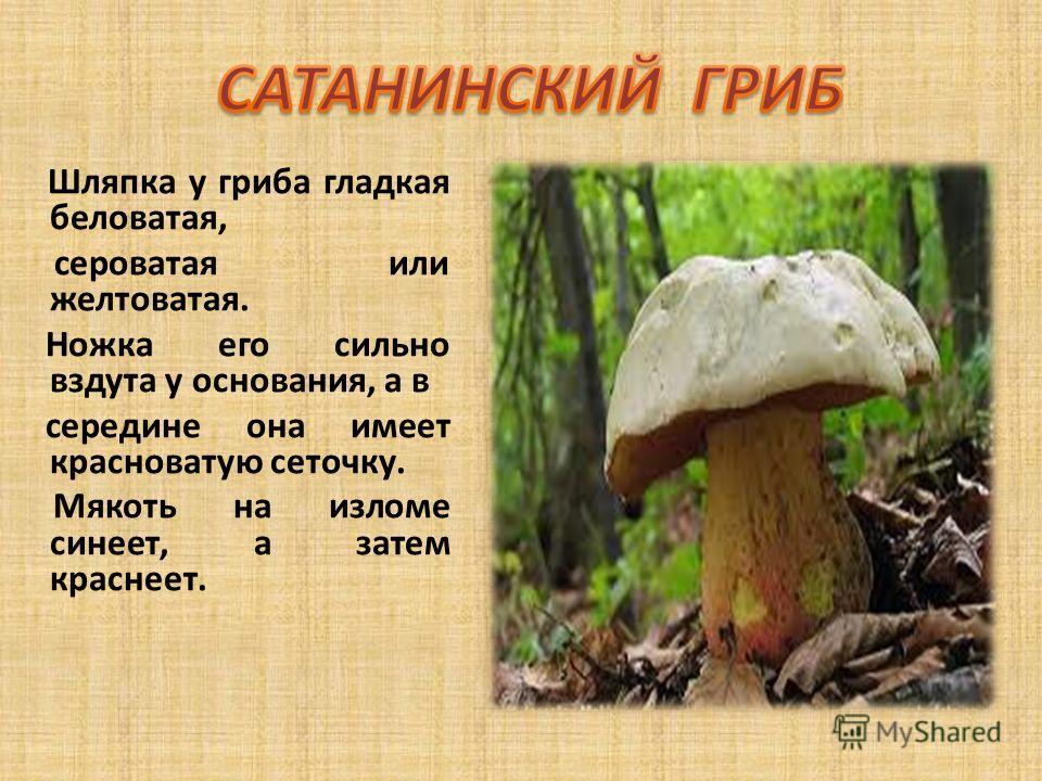 Шляпка у гриба гладкая беловатая, сероватая или желтоватая. Ножка его сильно вздута у основания, а в середине она имеет красноватую сеточку. Мякоть на изломе синеет, а затем краснеет.