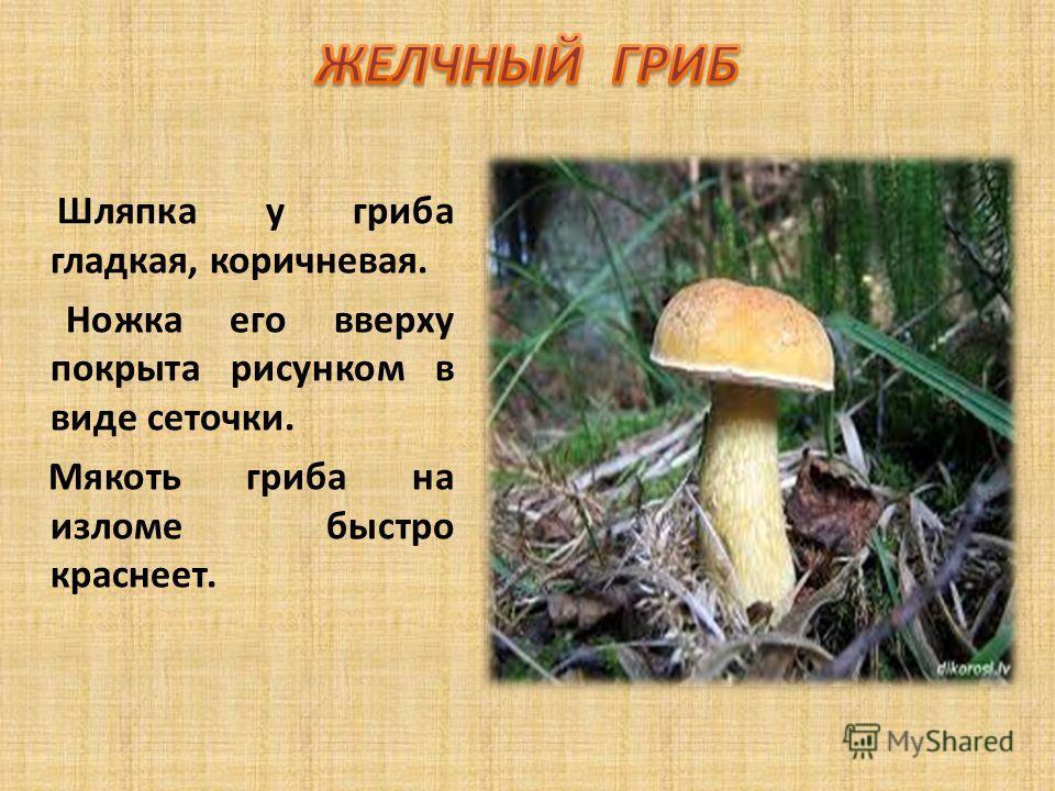 Шляпка у гриба гладкая, коричневая. Ножка его вверху покрыта рисунком в виде сеточки. Мякоть гриба на изломе быстро краснеет.