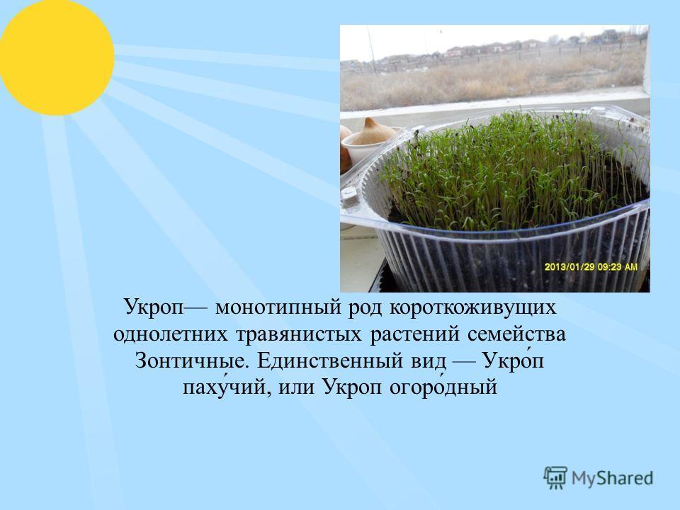 Укроп монотипный род короткоживущих однолетних травянистых растений семейства Зонтичные. Единственный вид Укро́п паху́чий, или Укроп огоро́дный