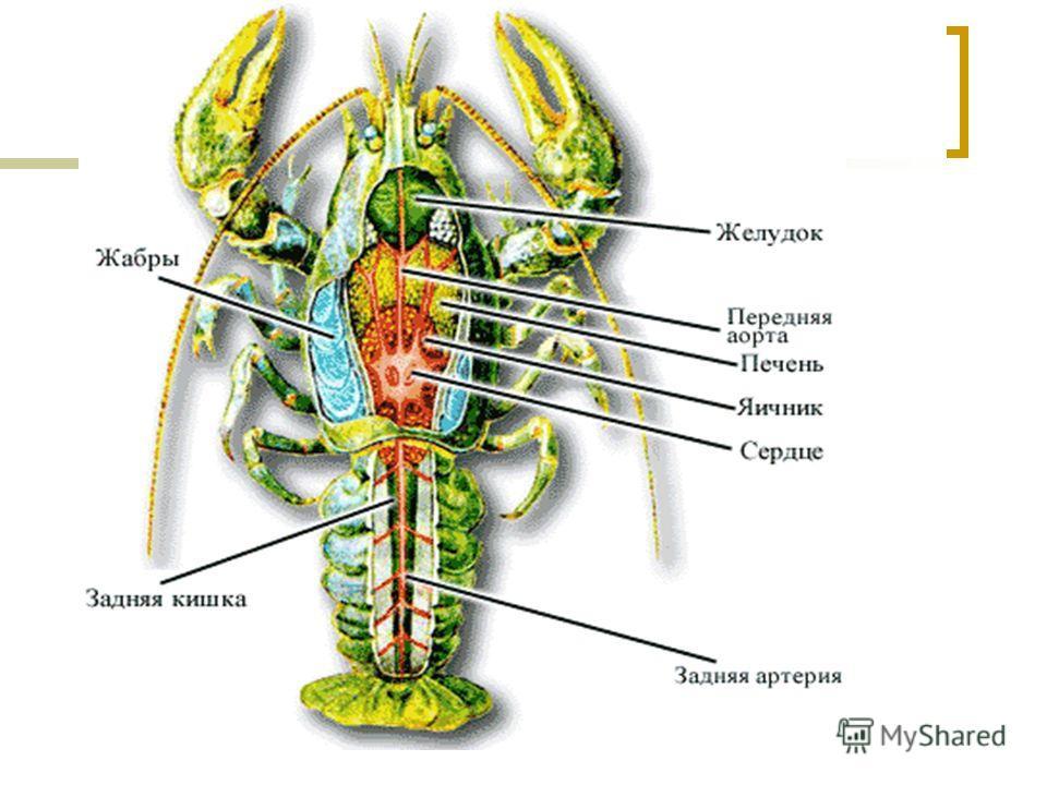 Пищеварительная система рака.