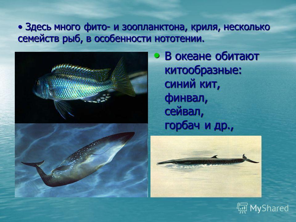 Здесь много фито- и зоопланктона, криля, несколько семейств рыб, в особенности нототении. Здесь много фито- и зоопланктона, криля, несколько семейств рыб, в особенности нототении. В океане обитают китообразные: синий кит, финвал, сейвал, горбач и др.