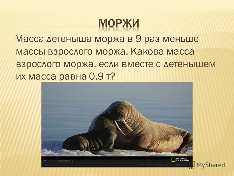 Масса детеныша моржа в 9 раз меньше массы взрослого моржа. Какова масса взрослого моржа, если вместе с детенышем их масса равна 0,9 т?
