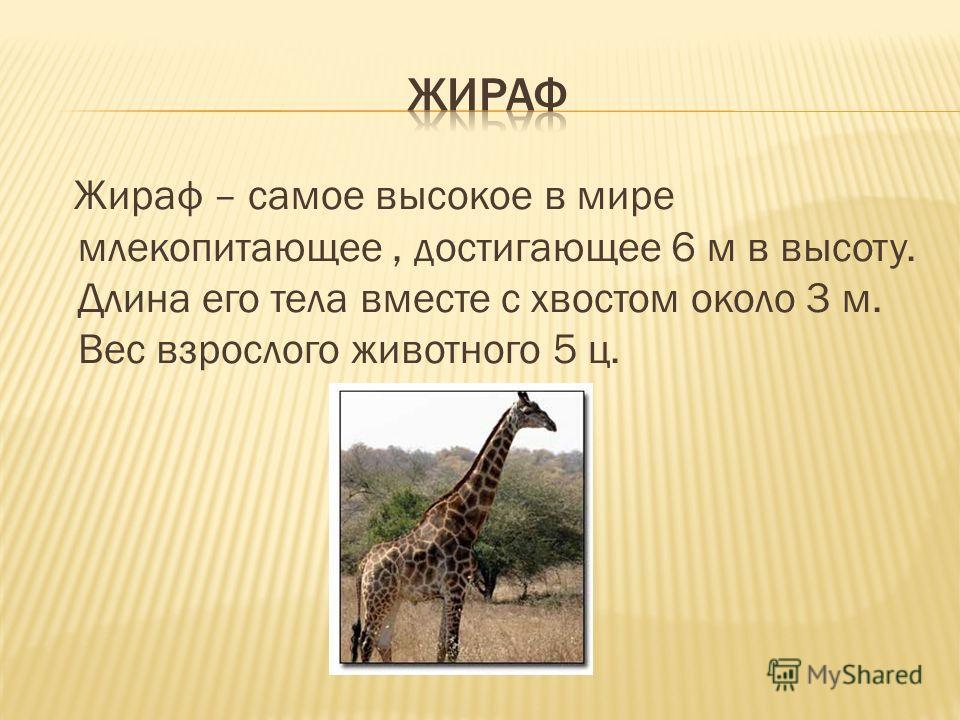 Жираф – самое высокое в мире млекопитающее, достигающее 6 м в высоту. Длина его тела вместе с хвостом около 3 м. Вес взрослого животного 5 ц.