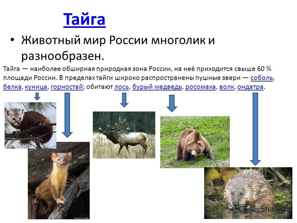 Животный мир России многолик и разнообразен. Тайга наиболее обширная природная зона России, на неё приходится свыше 60 % площади России. В пределах тайги широко распространены пушные звери соболь, белка, куница, горностай; обитают лось, бурый медведь