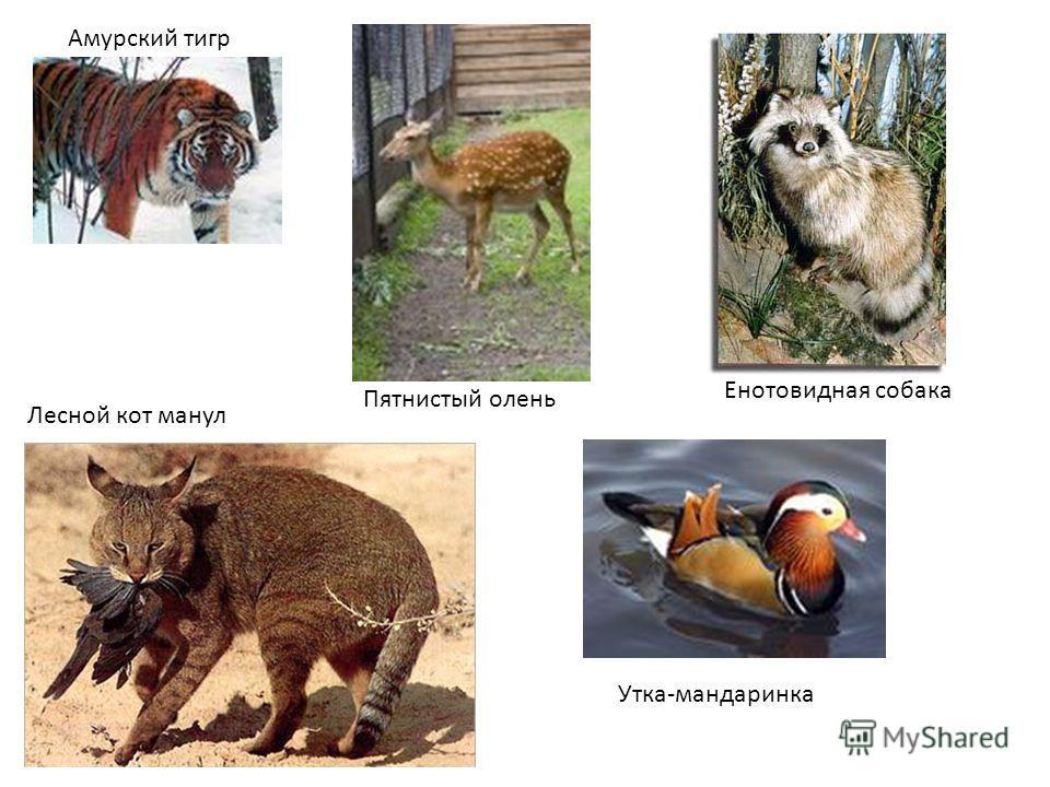 Амурский тигр Пятнистый олень Лесной кот манул Енотовидная собака Утка-мандаринка