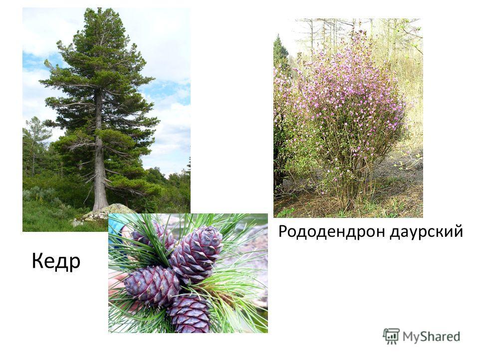 Кедр Рододендрон даурский