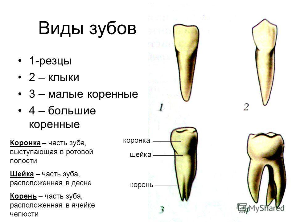 Виды зубов 1-резцы 2 – клыки 3 – малые коренные 4 – большие коренные коронка шейка корень Коронка – часть зуба, выступающая в ротовой полости Шейка – часть зуба, расположенная в десне Корень – часть зуба, расположенная в ячейке челюсти