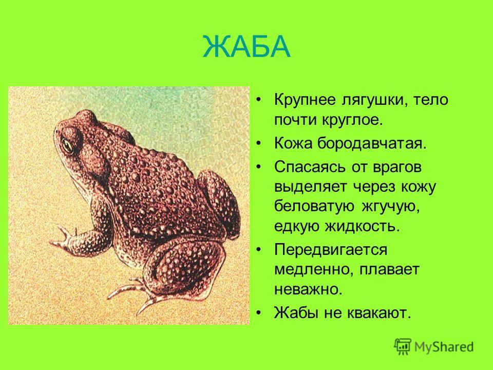 ЖАБА Крупнее лягушки, тело почти круглое. Кожа бородавчатая. Спасаясь от врагов выделяет через кожу беловатую жгучую, едкую жидкость. Передвигается медленно, плавает неважно. Жабы не квакают.