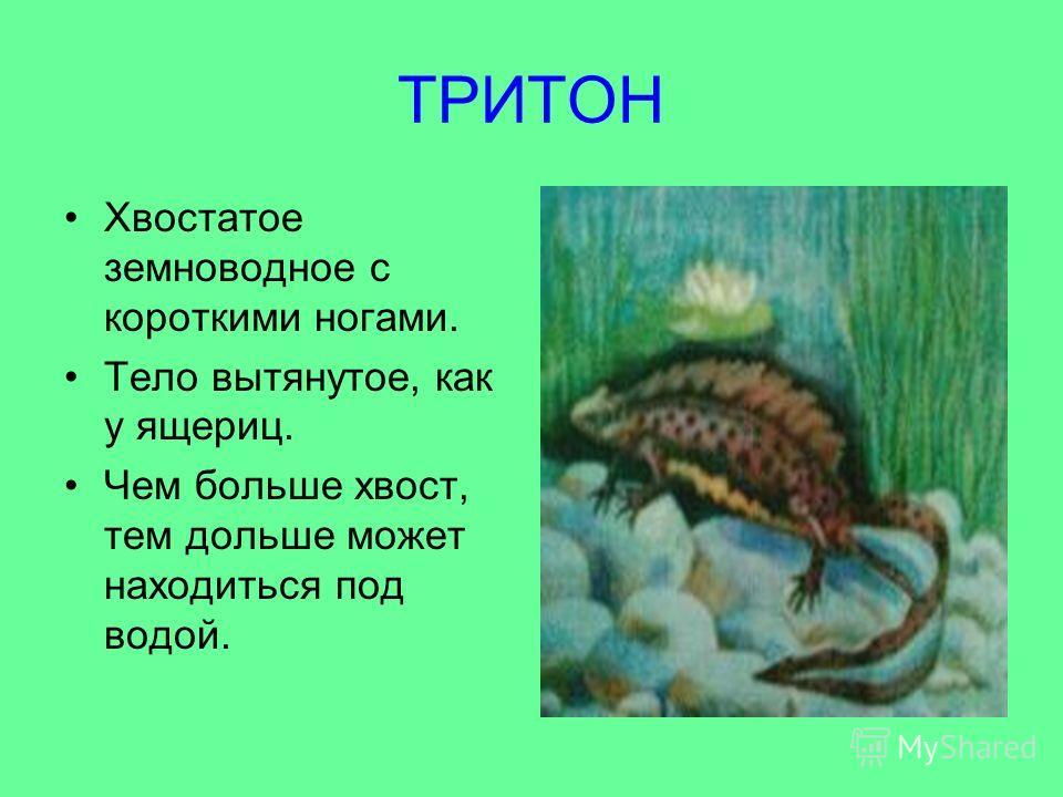 ТРИТОН Хвостатое земноводное с короткими ногами. Тело вытянутое, как у ящериц. Чем больше хвост, тем дольше может находиться под водой.