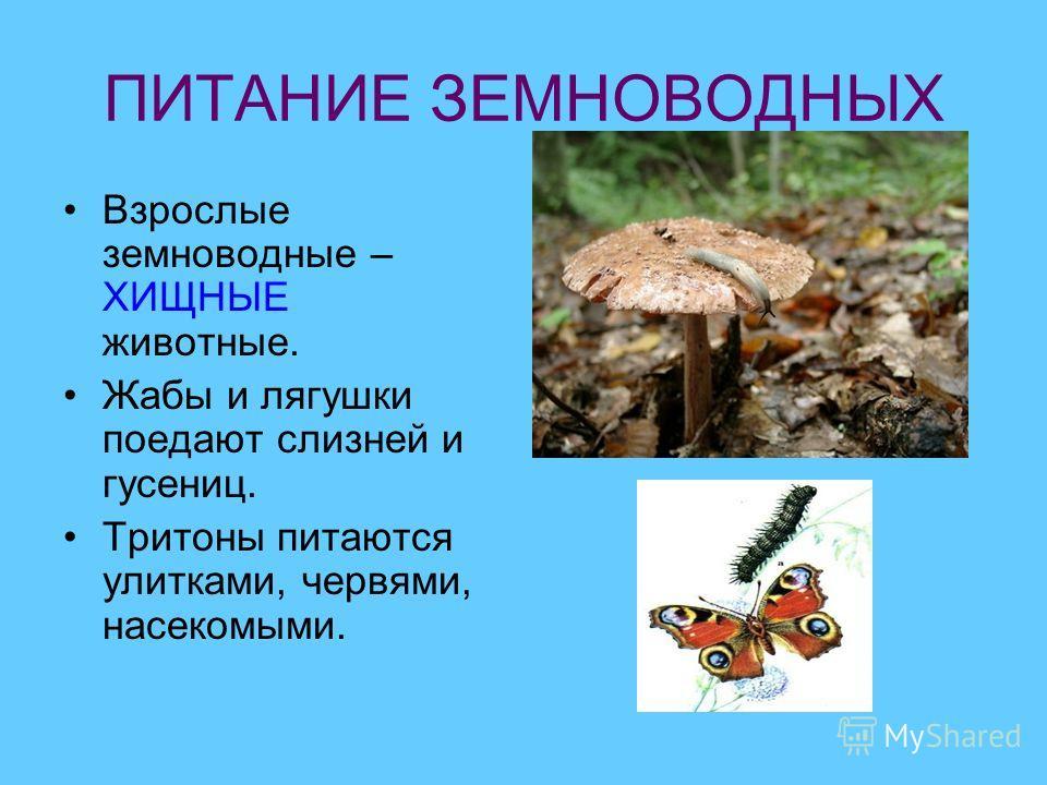 ПИТАНИЕ ЗЕМНОВОДНЫХ Взрослые земноводные – ХИЩНЫЕ животные. Жабы и лягушки поедают слизней и гусениц. Тритоны питаются улитками, червями, насекомыми.