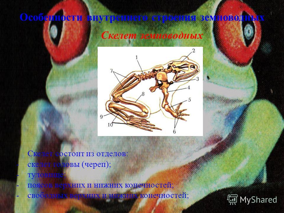 Особенности внутреннего строения земноводных Скелет земноводных Скелет состоит из отделов: -скелет головы (череп); -туловище; -поясов верхних и нижних конечностей; -свободных верхних и нижних конечностей;