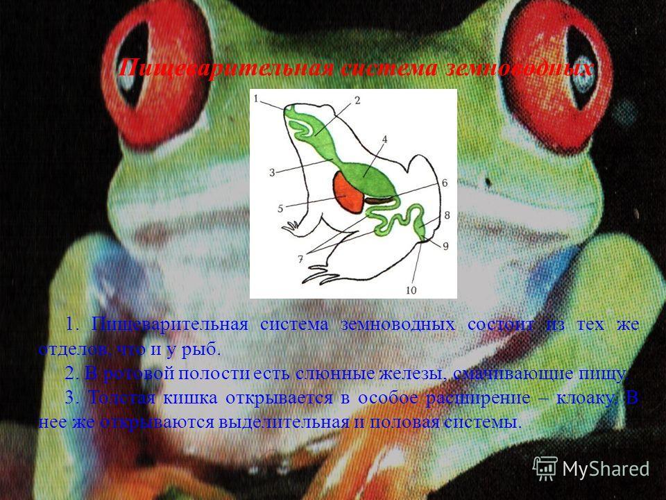 Пищеварительная система земноводных 1. Пищеварительная система земноводных состоит из тех же отделов, что и у рыб. 2. В ротовой полости есть слюнные железы, смачивающие пищу. 3. Толстая кишка открывается в особое расширение – клоаку. В нее же открыва