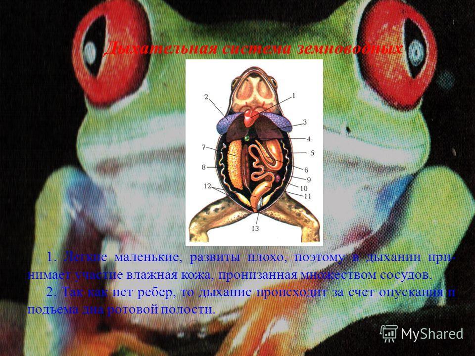 Дыхательная система земноводных 1. Легкие маленькие, развиты плохо, поэтому в дыхании при- нимает участие влажная кожа, пронизанная множеством сосудов. 2. Так как нет ребер, то дыхание происходит за счет опускания и подъема дна ротовой полости.