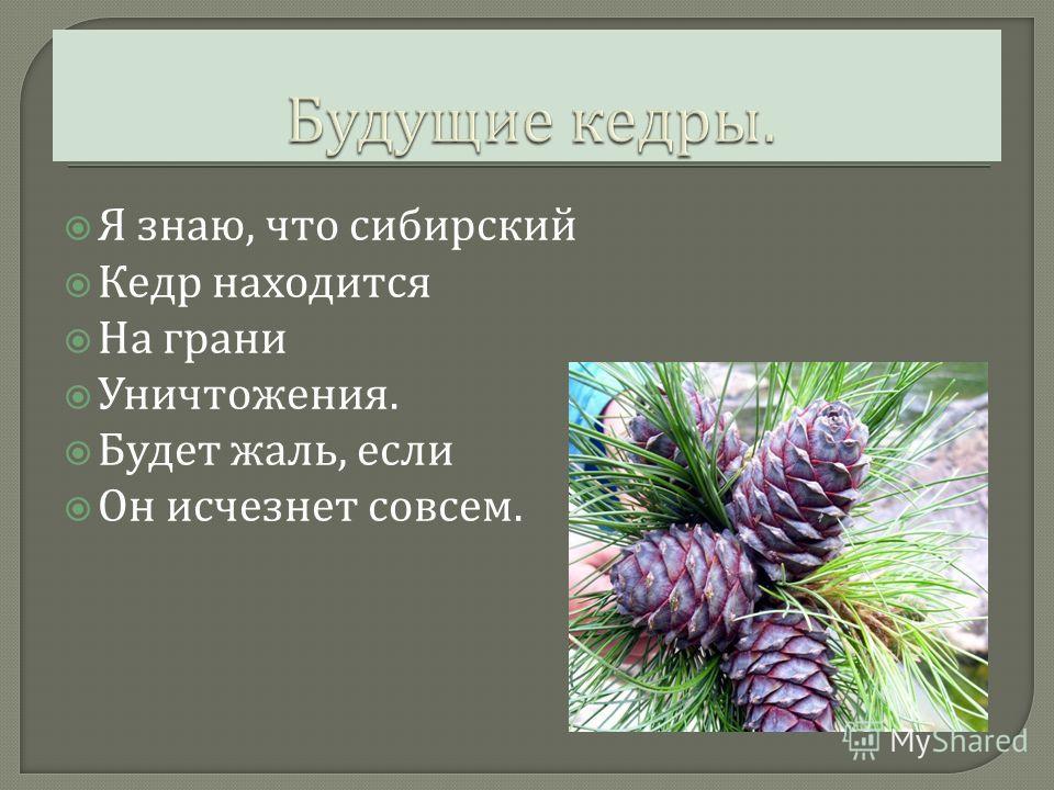 Я знаю, что сибирский Кедр находится На грани Уничтожения. Будет жаль, если Он исчезнет совсем.