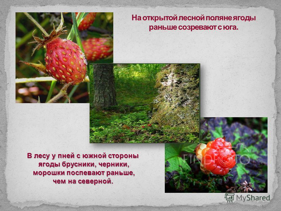 В лесу у пней с южной стороны ягоды брусники, черники, ягоды брусники, черники, морошки поспевают раньше, морошки поспевают раньше, чем на северной.