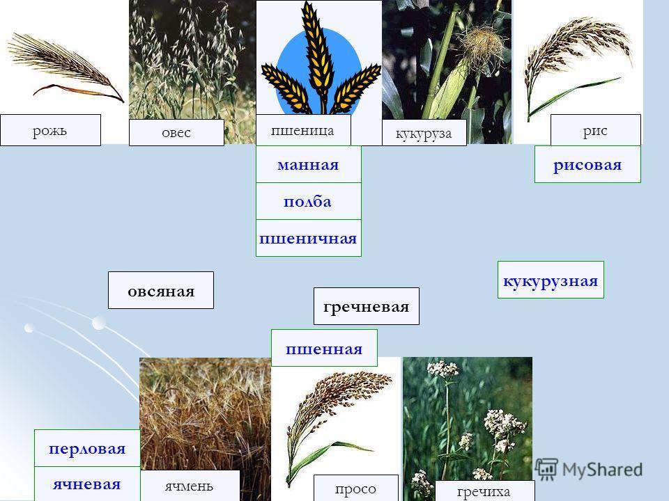 рожь рис овес кукуруза ячмень просо пшеница гречиха полба ячневая рисовая гречневая овсяная манная перловая пшеничная кукурузная пшенная