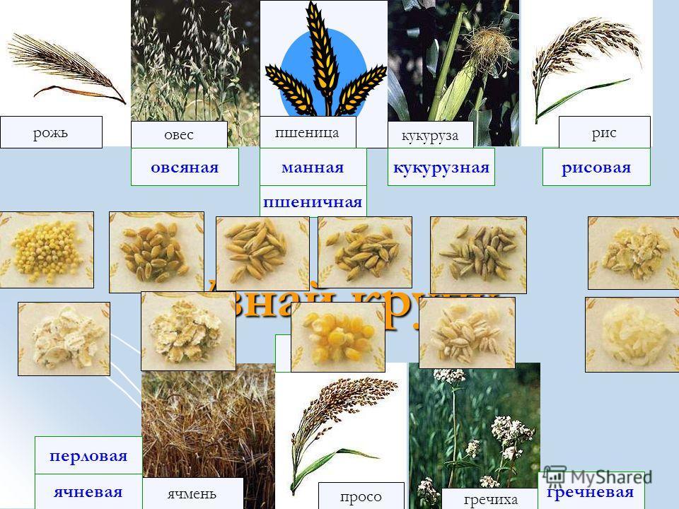 рожь рис овес кукуруза ячмень просо пшеница гречиха полба ячневая рисовая гречневая овсянаяманная перловая пшеничная кукурузная пшенная