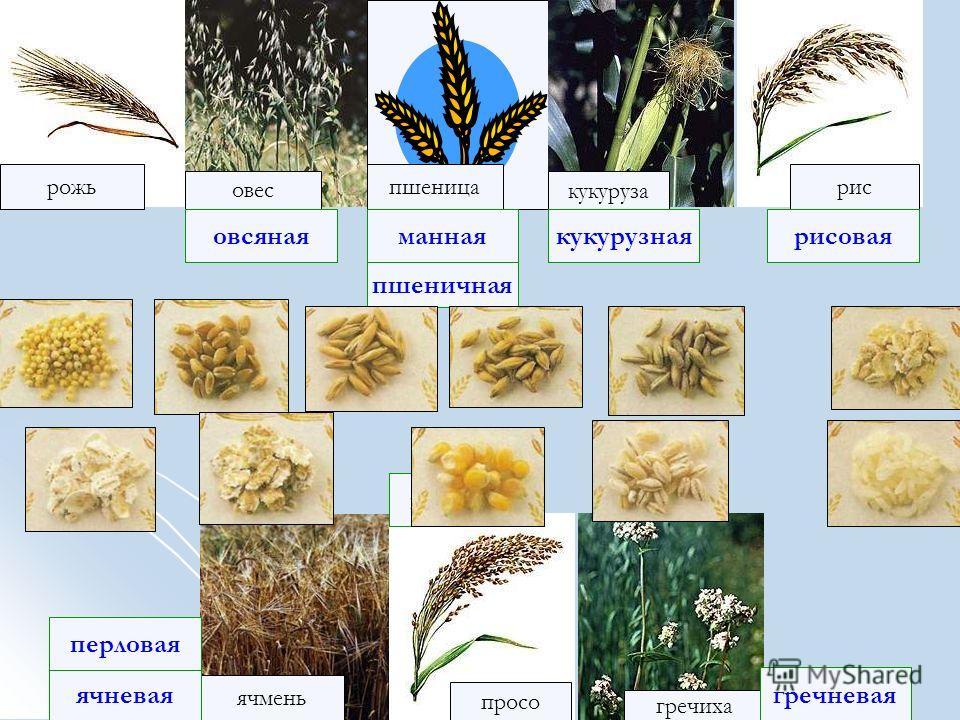 рожь рис овес кукуруза ячмень просо пшеница гречиха ячневая рисовая гречневая овсянаяманная перловая пшеничная кукурузная пшенная Узнай крупу