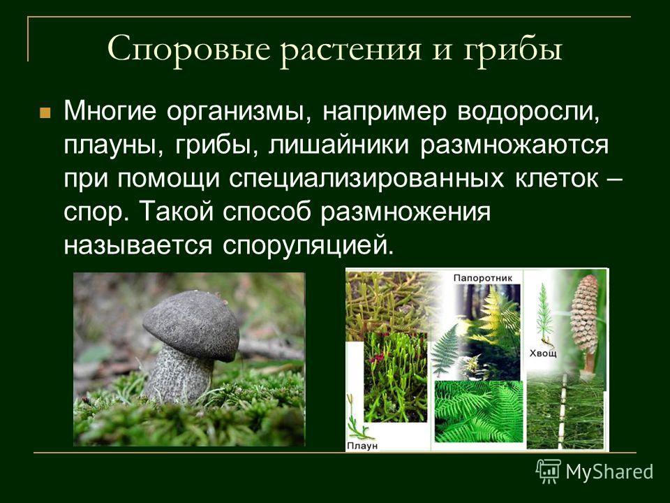 Споровые растения и грибы Многие организмы, например водоросли, плауны, грибы, лишайники размножаются при помощи специализированных клеток – спор. Такой способ размножения называется споруляцией.