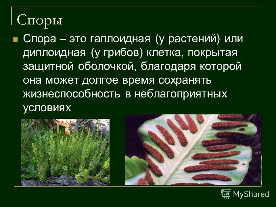 Споры Спора – это гаплоидная (у растений) или диплоидная (у грибов) клетка, покрытая защитной оболочкой, благодаря которой она может долгое время сохранять жизнеспособность в неблагоприятных условиях