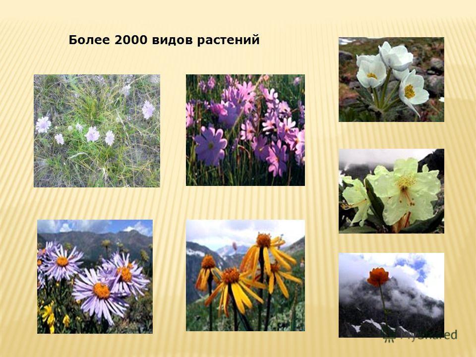 Более 2000 видов растений
