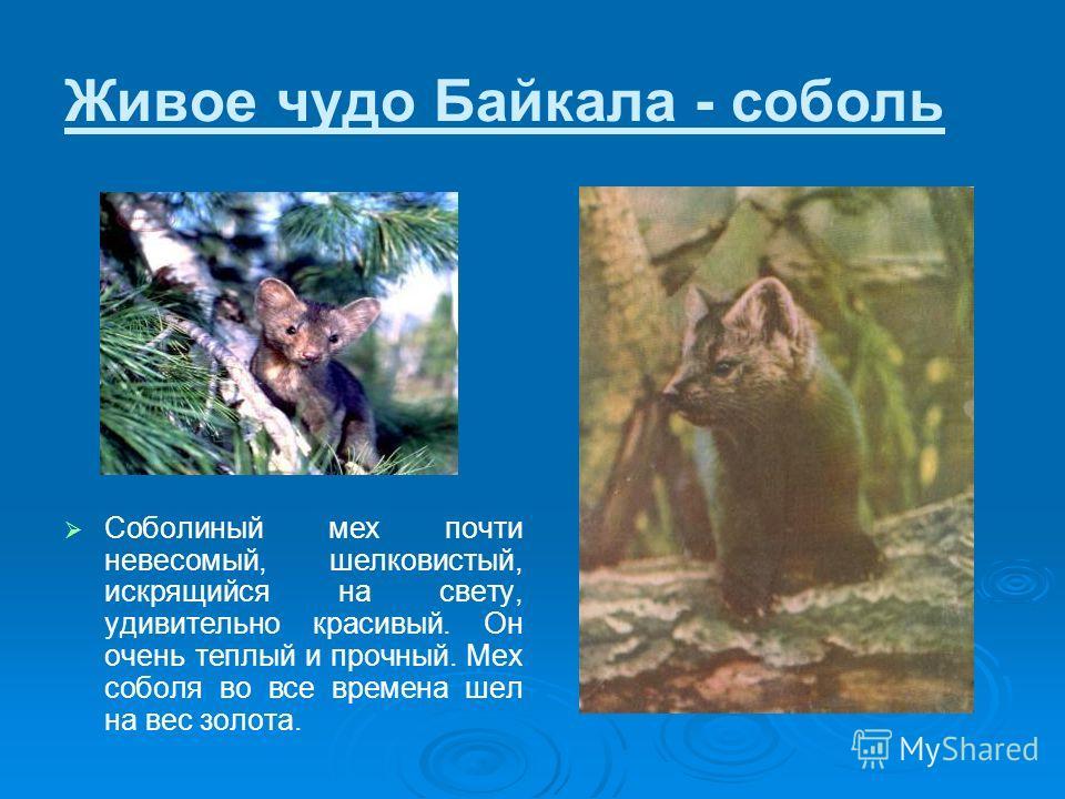 Живое чудо Байкала - соболь Соболиный мех почти невесомый, шелковистый, искрящийся на свету, удивительно красивый. Он очень теплый и прочный. Мех соболя во все времена шел на вес золота.