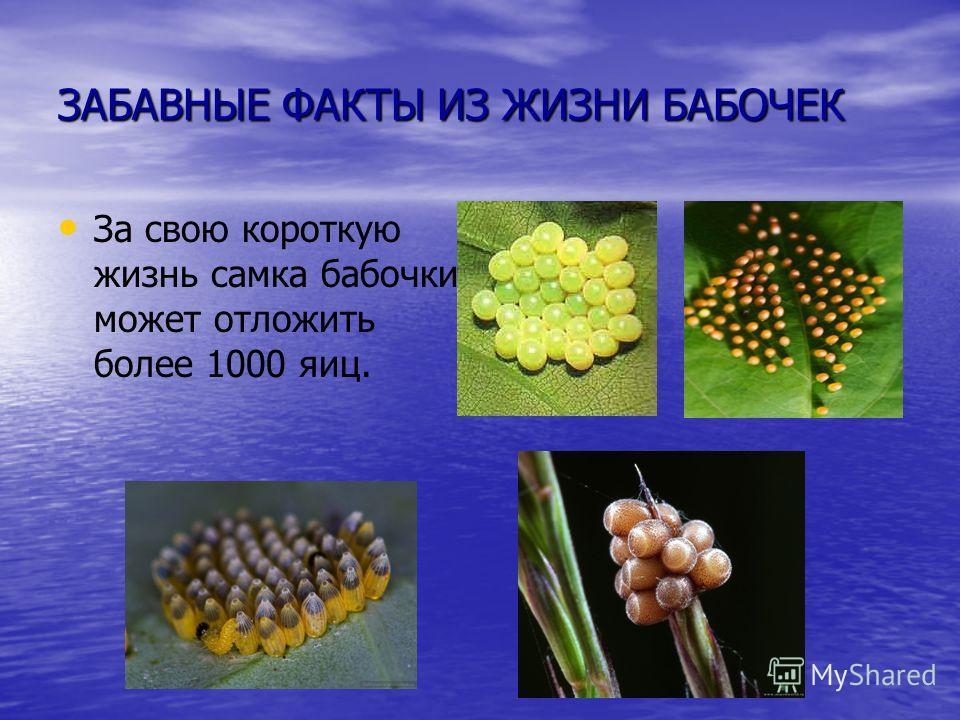 ЗАБАВНЫЕ ФАКТЫ ИЗ ЖИЗНИ БАБОЧЕК За свою короткую жизнь самка бабочки может отложить более 1000 яиц.