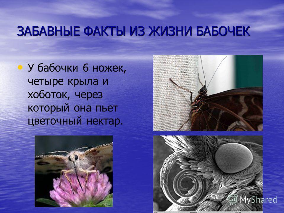 ЗАБАВНЫЕ ФАКТЫ ИЗ ЖИЗНИ БАБОЧЕК У бабочки 6 ножек, четыре крыла и хоботок, через который она пьет цветочный нектар.