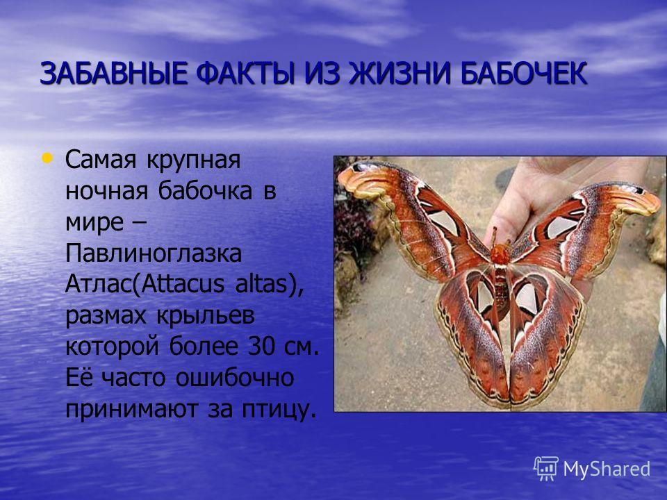 ЗАБАВНЫЕ ФАКТЫ ИЗ ЖИЗНИ БАБОЧЕК Самая крупная ночная бабочка в мире – Павлиноглазка Атлас(Attacus altas), размах крыльев которой более 30 см. Её часто ошибочно принимают за птицу.