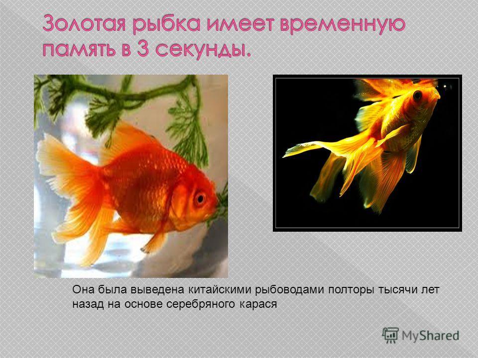 Она была выведена китайскими рыбоводами полторы тысячи лет назад на основе серебряного карася