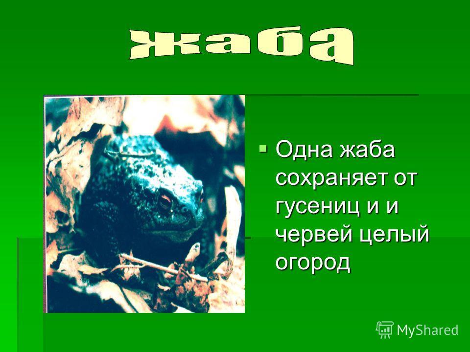 Одна жаба сохраняет от гусениц и и червей целый огород Одна жаба сохраняет от гусениц и и червей целый огород