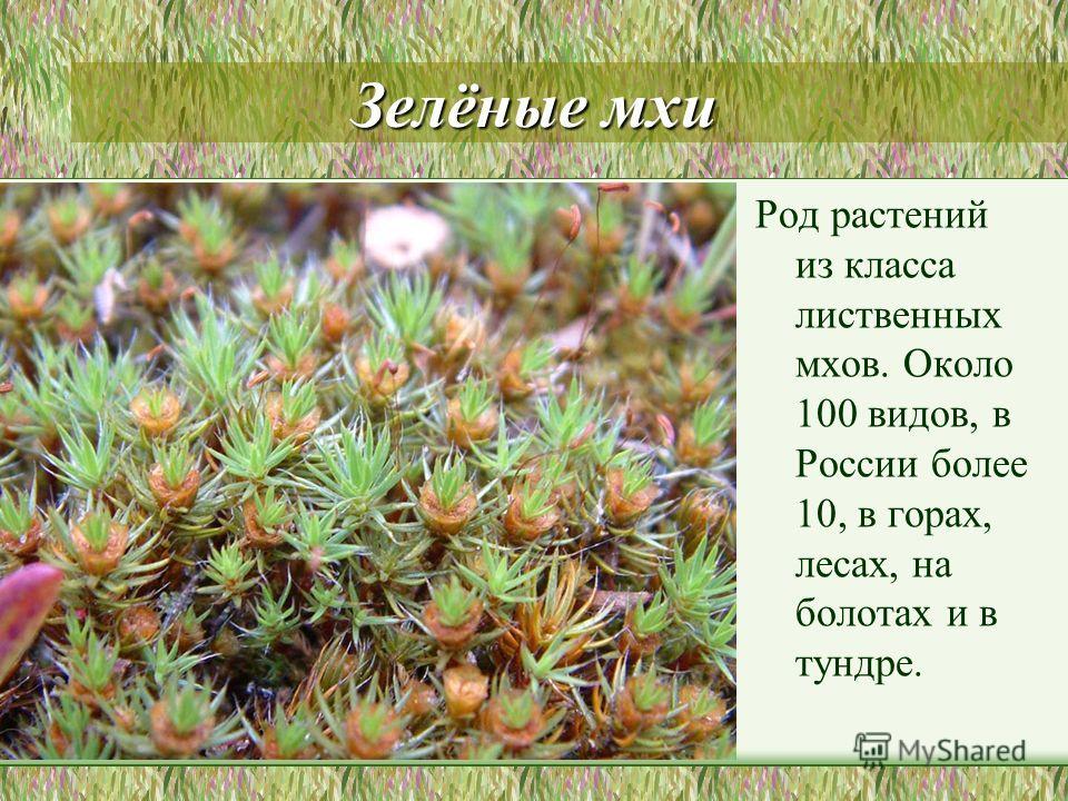Зелёные мхи Род растений из класса лиственных мхов. Около 100 видов, в России более 10, в горах, лесах, на болотах и в тундре.