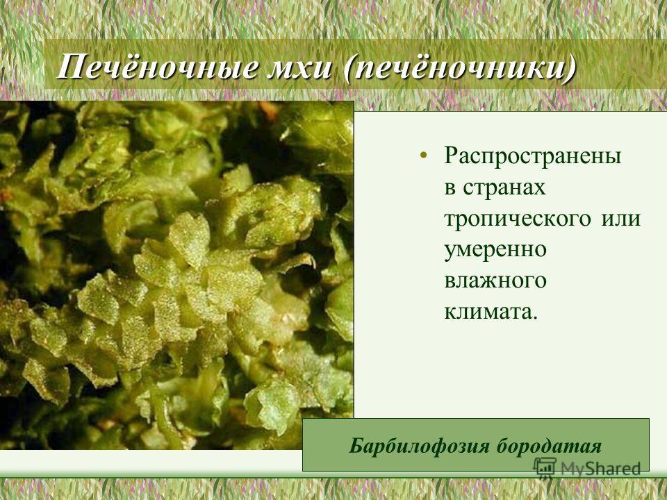 Печёночные мхи (печёночники) Распространены в странах тропического или умеренно влажного климата. Барбилофозия бородатая