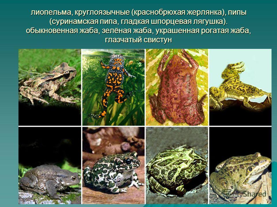 лиопельма, круглоязычные (краснобрюхая жерлянка), пипы (суринамская пипа, гладкая шпорцевая лягушка). обыкновенная жаба, зелёная жаба, украшенная рогатая жаба, глазчатый свистун