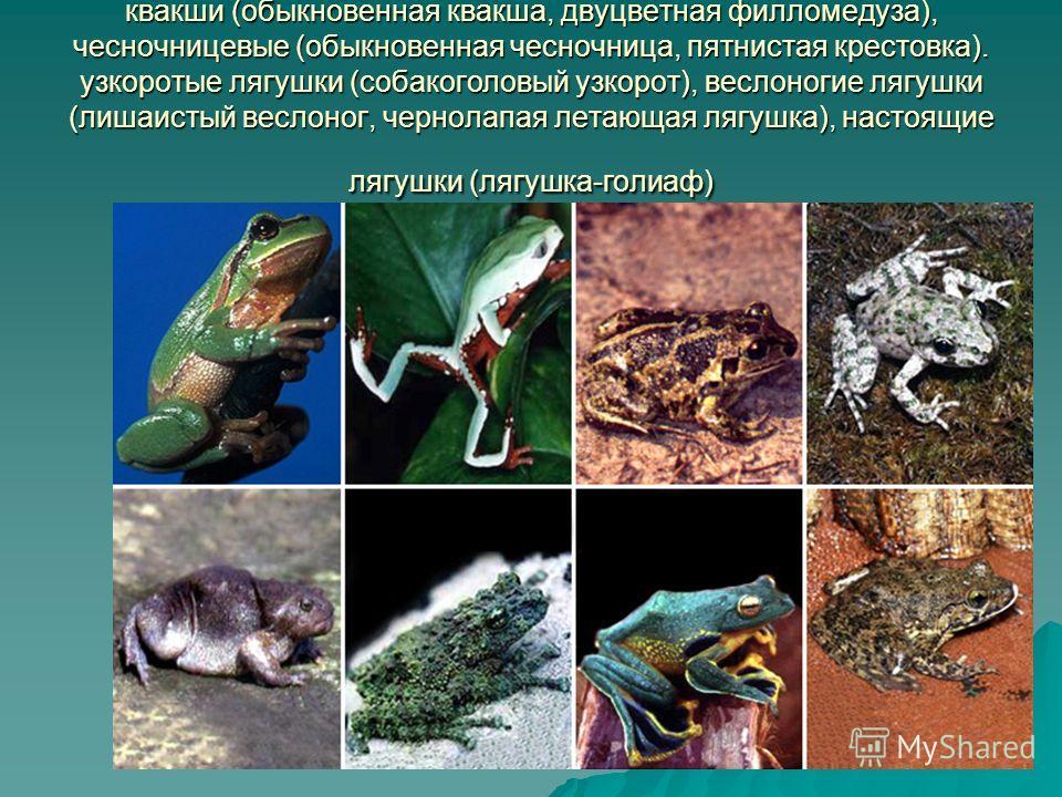 квакши (обыкновенная квакша, двуцветная филломедуза), чесночницевые (обыкновенная чесночница, пятнистая крестовка). узкоротые лягушки (собакоголовый узкорот), веслоногие лягушки (лишаистый веслоног, чернолапая летающая лягушка), настоящие лягушки (ля
