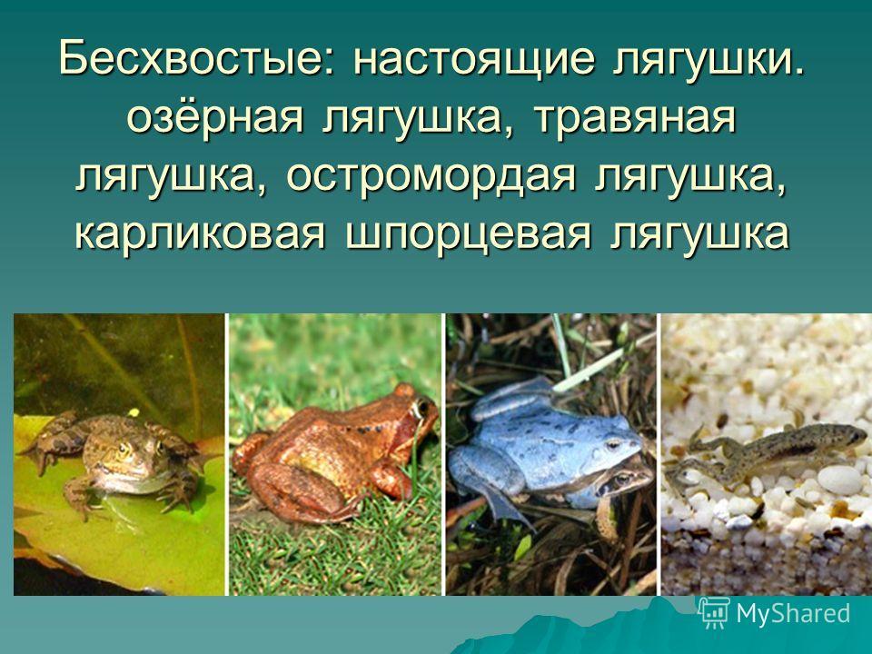 Бесхвостые: настоящие лягушки. озёрная лягушка, травяная лягушка, остромордая лягушка, карликовая шпорцевая лягушка