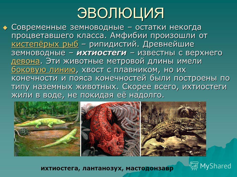 ЭВОЛЮЦИЯ Современные земноводные – остатки некогда процветавшего класса. Амфибии произошли от кистепёрых рыб – рипидистий. Древнейшие земноводные – ихтиостеги – известны с верхнего девона. Эти животные метровой длины имели боковую линию, хвост с плав