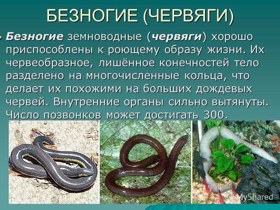 БЕЗНОГИЕ (ЧЕРВЯГИ) Безногие земноводные (червяги) хорошо приспособлены к роющему образу жизни. Их червеобразное, лишённое конечностей тело разделено на многочисленные кольца, что делает их похожими на больших дождевых червей. Внутренние органы сильно