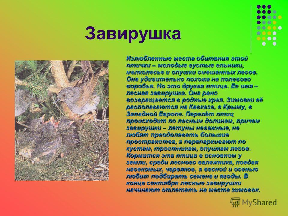 Завирушка Излюбленные места обитания этой птички – молодые густые ельники, мелколесье и опушки смешанных лесов. Она удивительно похожа на полевого воробья. Но это другая птица. Ее имя – лесная завирушка. Она рано возвращается в родные края. Зимовки е