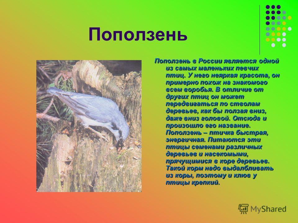 Поползень Поползень в России является одной из самых маленьких певчих птиц. У него неяркая красота, он примерно похож на знакомого всем воробья. В отличие от других птиц он может передвигаться по стволам деревьев, как бы ползая вниз, даже вниз голово