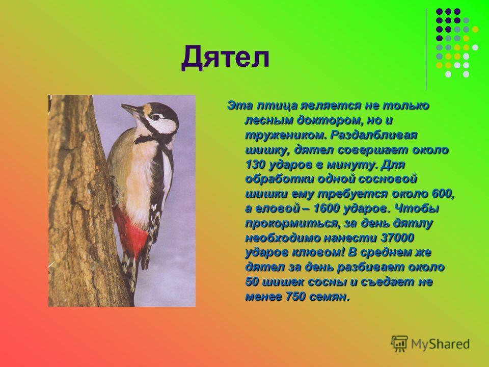 Дятел Эта птица является не только лесным доктором, но и тружеником. Раздалбливая шишку, дятел совершает около 130 ударов в минуту. Для обработки одной сосновой шишки ему требуется около 600, а еловой – 1600 ударов. Чтобы прокормиться, за день дятлу
