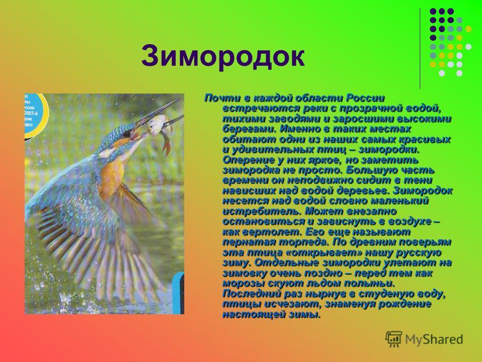 Зимородок Почти в каждой области России встречаются реки с прозрачной водой, тихими заводями и заросшими высокими берегами. Именно в таких местах обитают одни из наших самых красивых и удивительных птиц – зимородки. Оперение у них яркое, но заметить