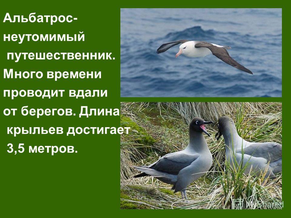 Альбатрос- неутомимый путешественник. Много времени проводит вдали от берегов. Длина крыльев достигает 3,5 метров.