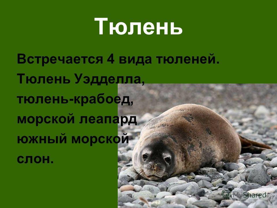 Тюлень Встречается 4 вида тюленей. Тюлень Уэдделла, тюлень-крабоед, морской леапард южный морской слон.