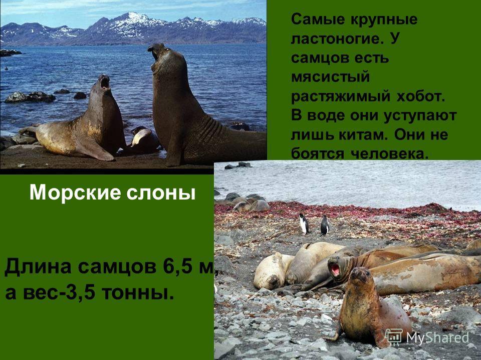 Самые крупные ластоногие. У самцов есть мясистый растяжимый хобот. В воде они уступают лишь китам. Они не боятся человека. Морские слоны Длина самцов 6,5 м, а вес-3,5 тонны.