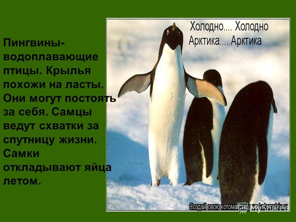 Пингвины- водоплавающие птицы. Крылья похожи на ласты. Они могут постоять за себя. Самцы ведут схватки за спутницу жизни. Самки откладывают яйца летом.