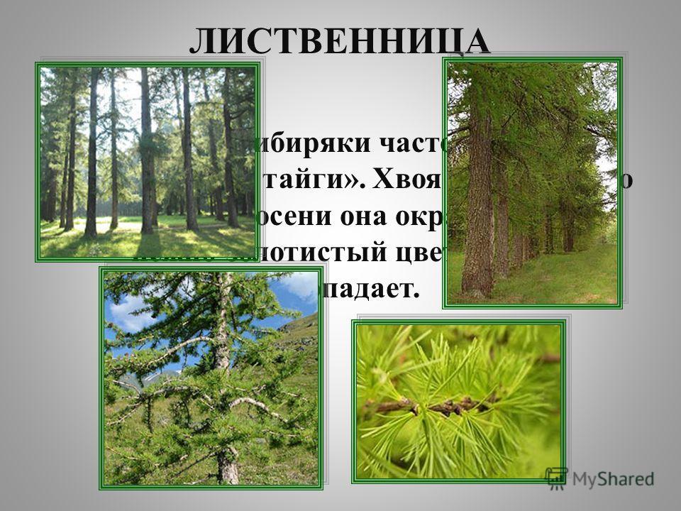 ЛИСТВЕННИЦА Это дерево сибиряки часто величают «Королевой тайги». Хвоя его густая, но мягкая. К осени она окрашивается в нежно-золотистый цвет и на зиму опадает.