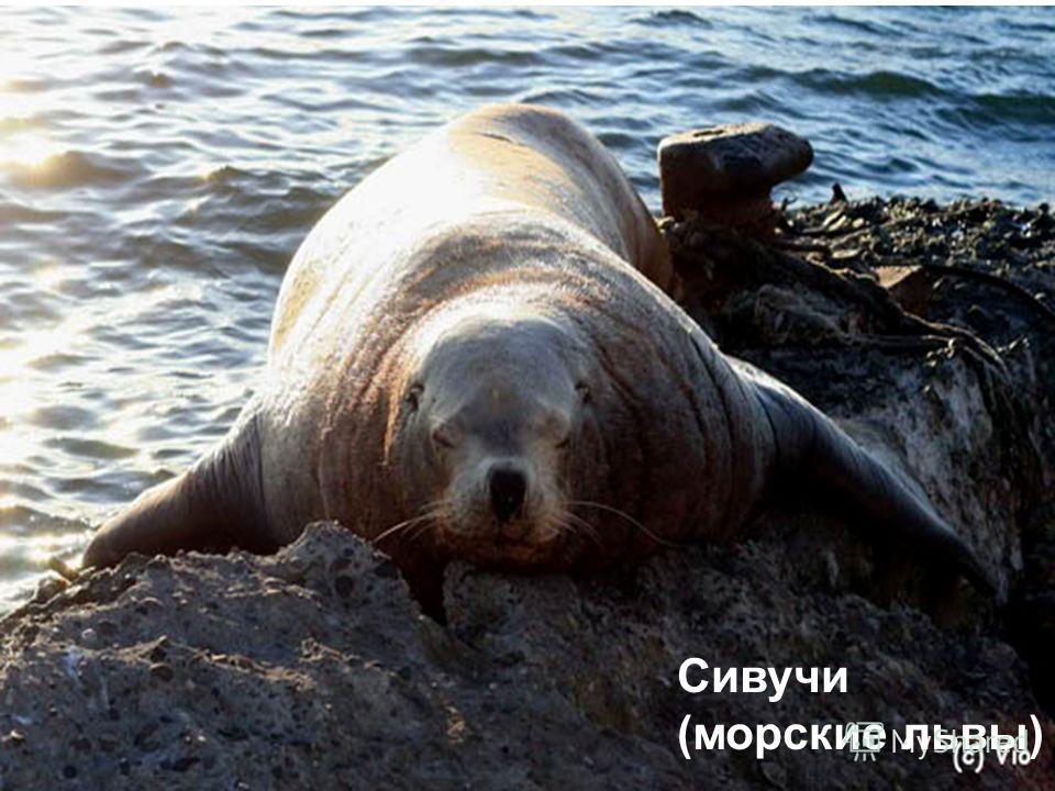 Сивучи (морские львы)