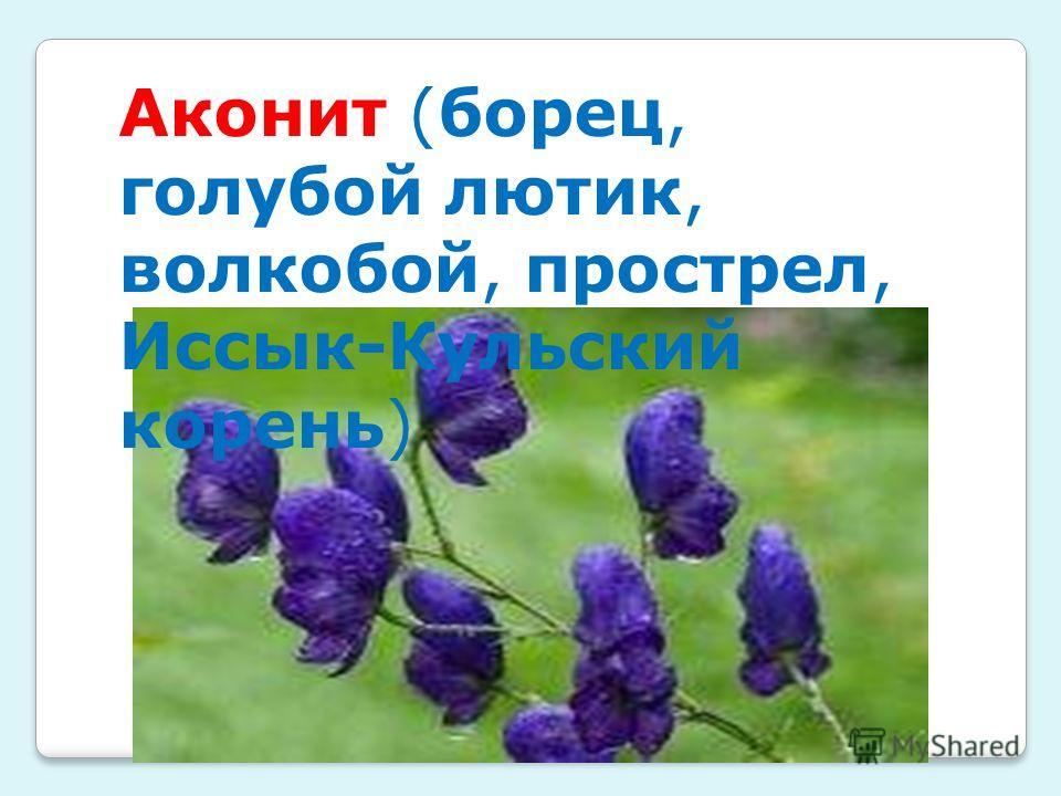 Аконит (борец, голубой лютик, волкобой, прострел, Иссык-Кульский корень)