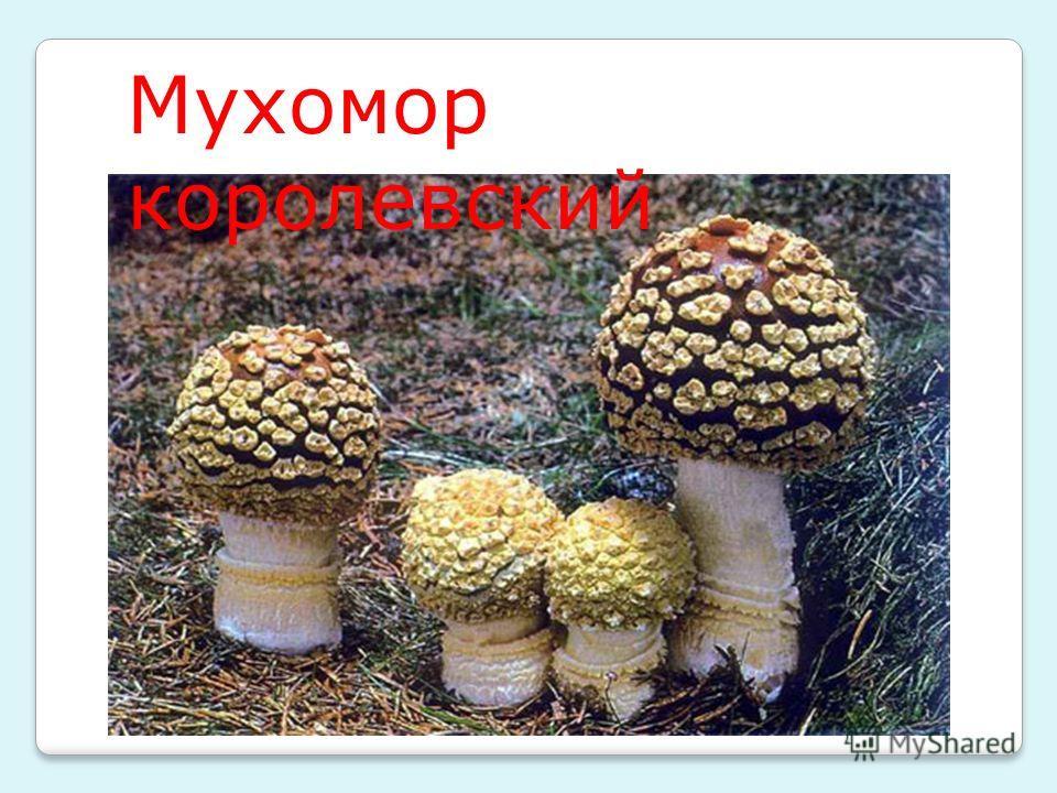 Мухомор королевский